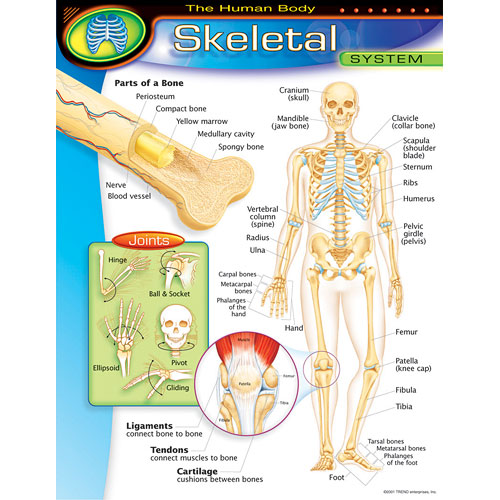 The Human Body Skeletal System Poster From Trend Enterprises