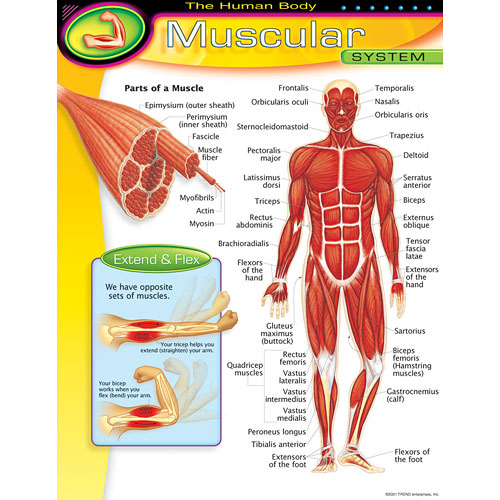 the Human Body - Muscular System Chart - Kool & Child