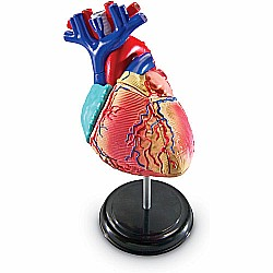 Anatomy Model Heart