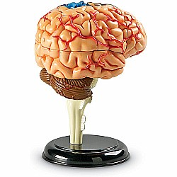 Anatomy Model Brain