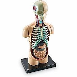 Anatomy Model Human Body