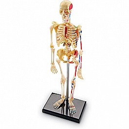 Skeleton Anatomy Model